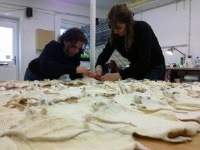 Claudia and Aleksandra joining finished rat skins together